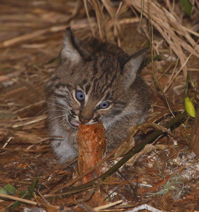 Bobcat ... Taken December 2nd 2011 at Green Cay Wetlands