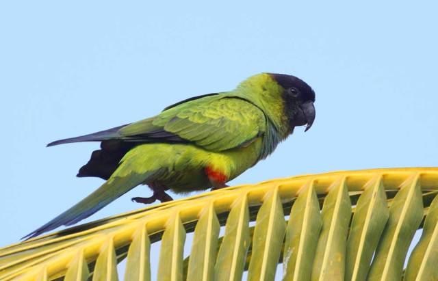 Black-hooded Parakeet ... Palm Beach County Photographic Big Year Bird # 224!!!