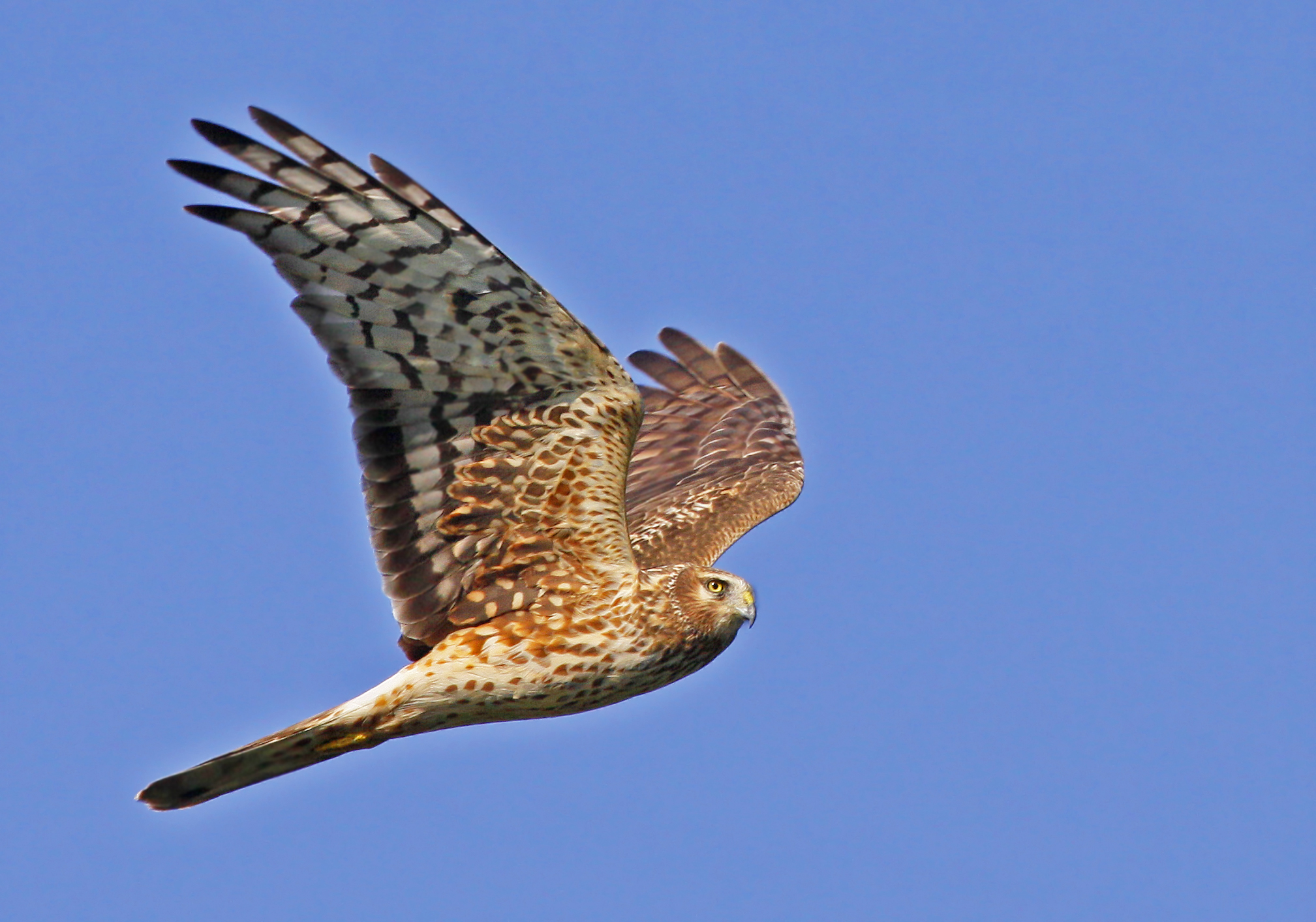 Northern Harrier | Palm Beach County … Naturally