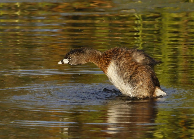 Pied-billed Grebe ... spin cycle!