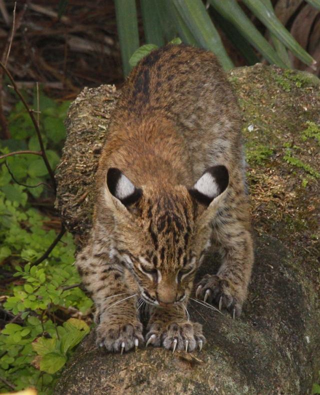 Bobcat ... Green Cay Wetlands