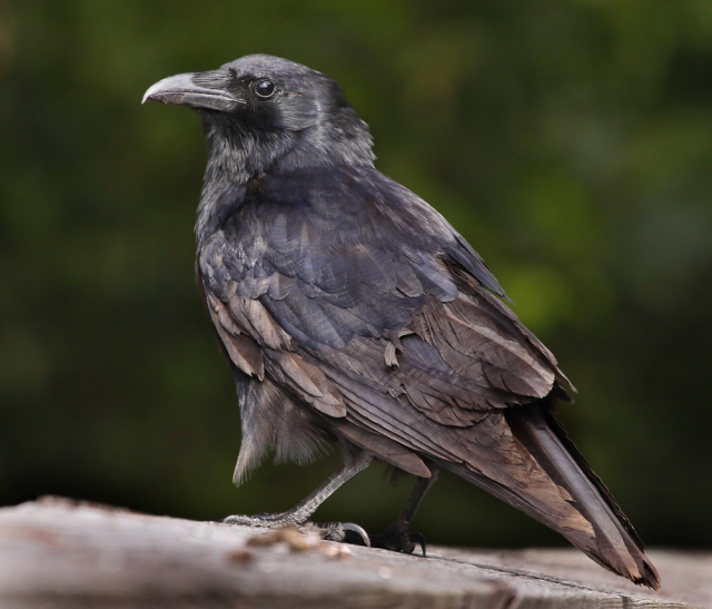 Blog summer and home on pinterest for Fish crow call
