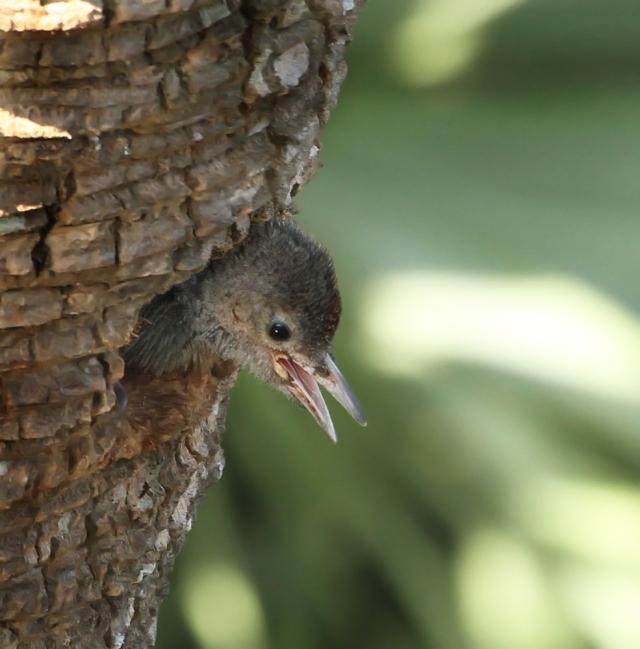 Red-bellied Woodpecker .... Green Cay Wetlands
