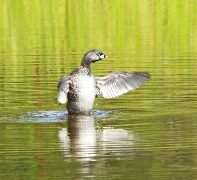 Pied Billed Grebe ... Trying to get every last drop out!