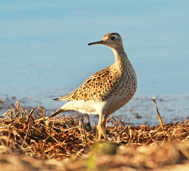 Upland Sandpiper ... As close as one can ever expect to get to one of these guys!