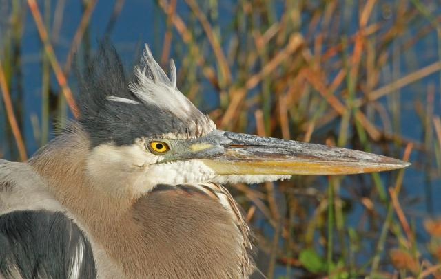 Great Blue Heron ... It was chilly this week and you could see it in many of the birds faces and posture!