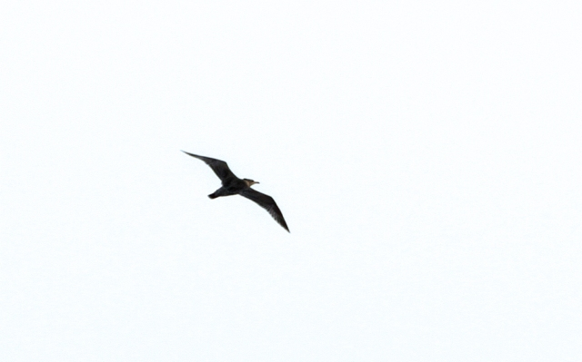 Pomarine Jaeger ... This is the #224th species of bird that I've photographed this year in Palm Beach County Florida!!