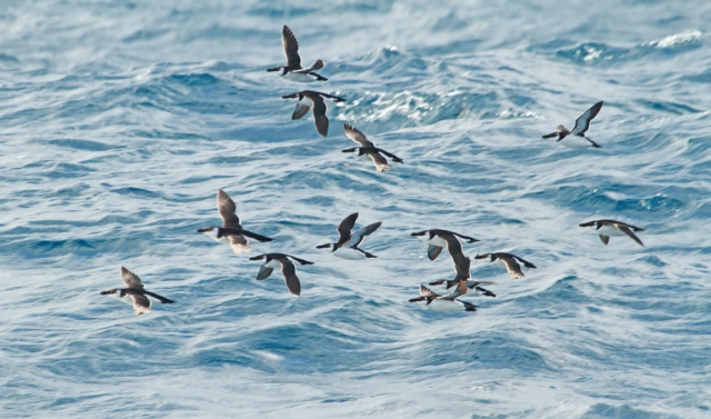 Razorbill's ... Huge flocks of these seen all over the Florida coast!
