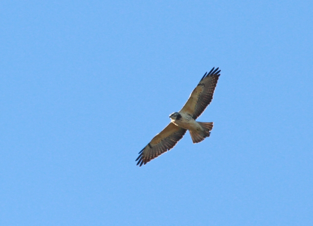 Short-tailed Hawk ... A different individual than the one perched up!!