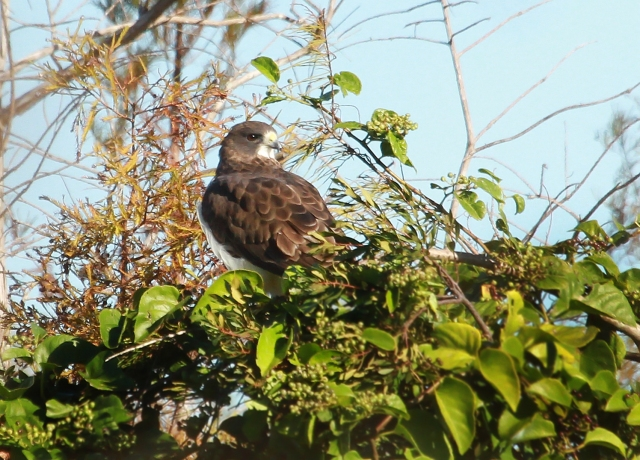 Short-tailed Hawk ... This was the 230th species I have photographed in Palm Beach County Florida this year!!!