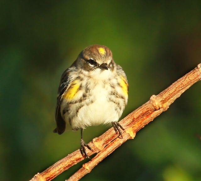Yellow-rumped Warbler ... The early morning sun must have felt really good as he didn't move for a couple of minutes!