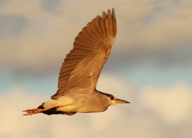 Black-crowned Night Heron ... Sweet evening light!!!