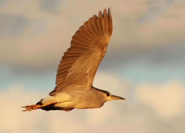 Black-crowned Night Heron ... Sweet evening light!!!