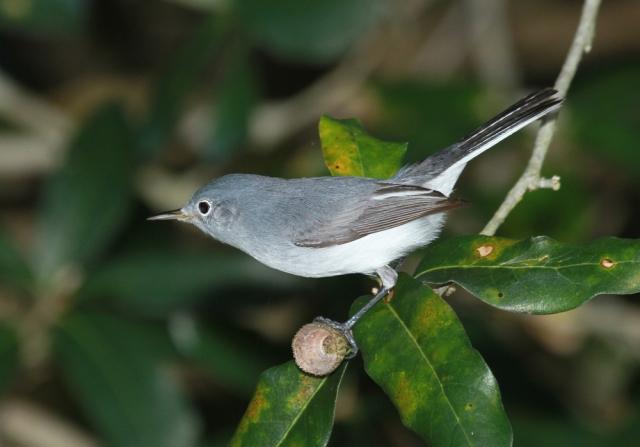 Blue-gray Gantcatcher