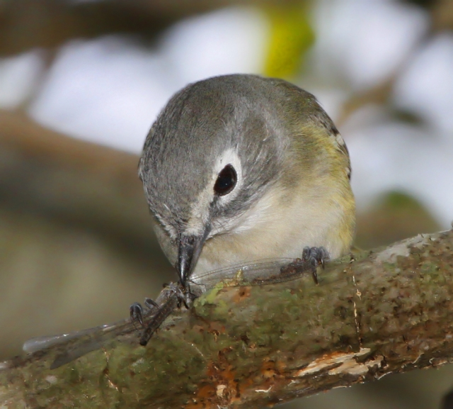 Blue-heade Vireo ... There are a couple of these guys around and we see them fairly regularly.  This guy was munching on a Dragonfly.