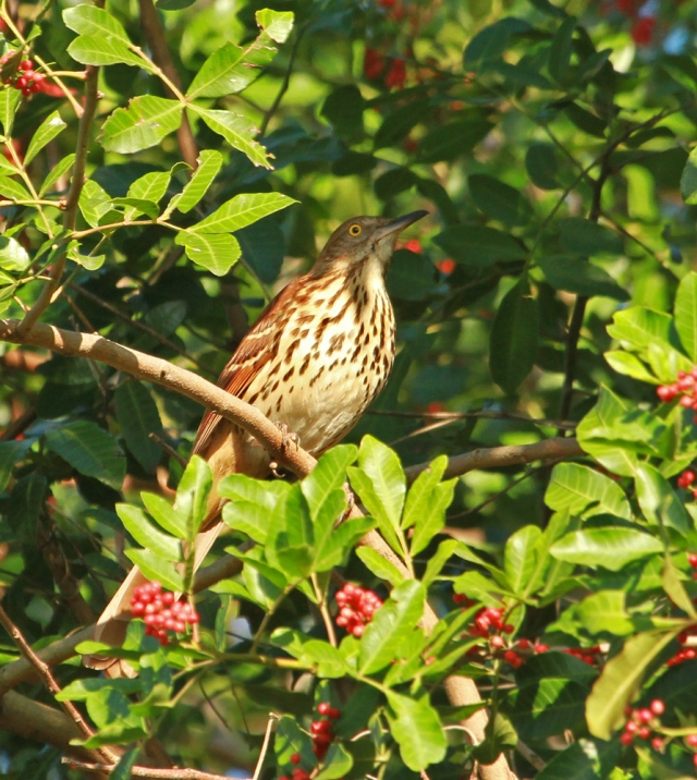 Brown Thrasher ... One of my favorites to photograph!