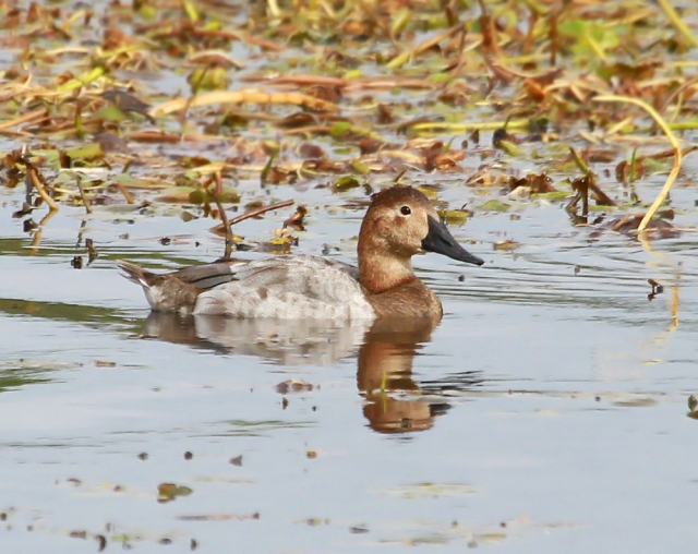 Female Canvasback ... St Marks