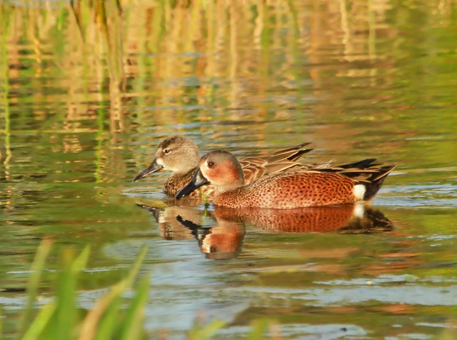 Cinnamon/Blue-winged Teal Hybrid ... This same bird was here last year!!!