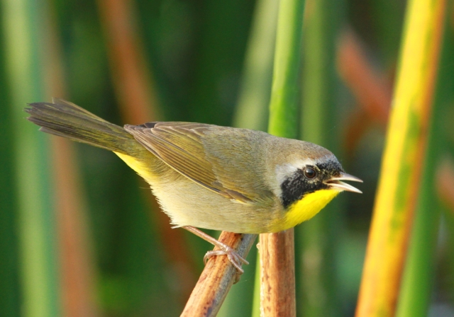 Common Yellowthroat ... Maybe the best I've got of this litlle guy!