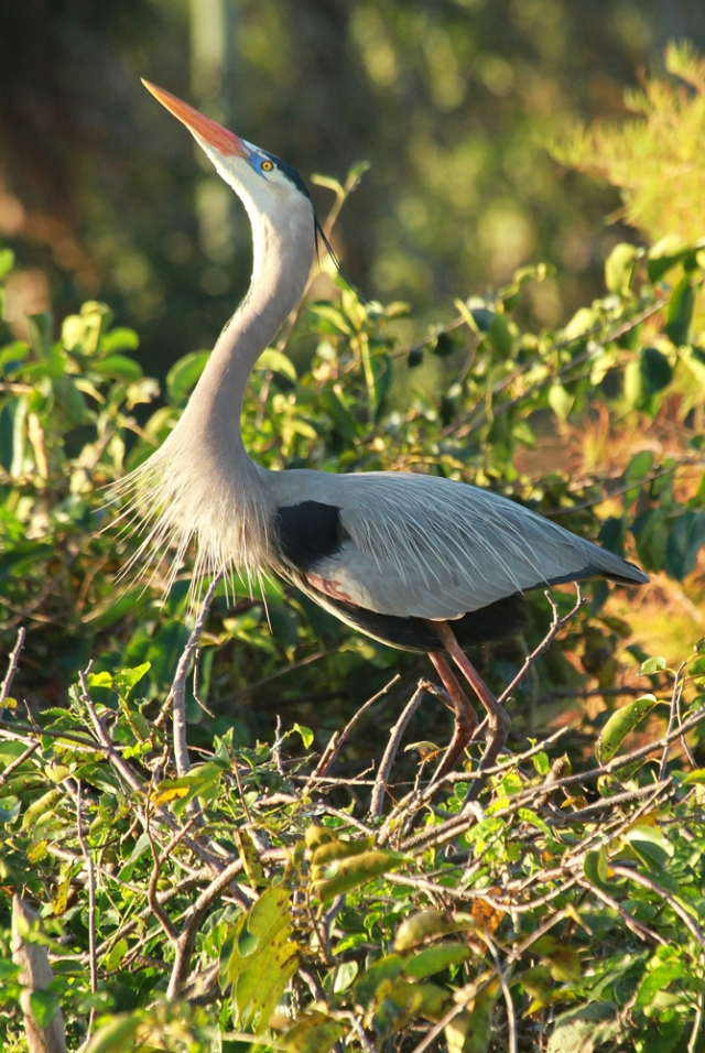 Great Blue Heron ... This was taken at Wakodahatchee Wetlands where there are currently over a dozen nests.  This one was trumpeting for it's mate!