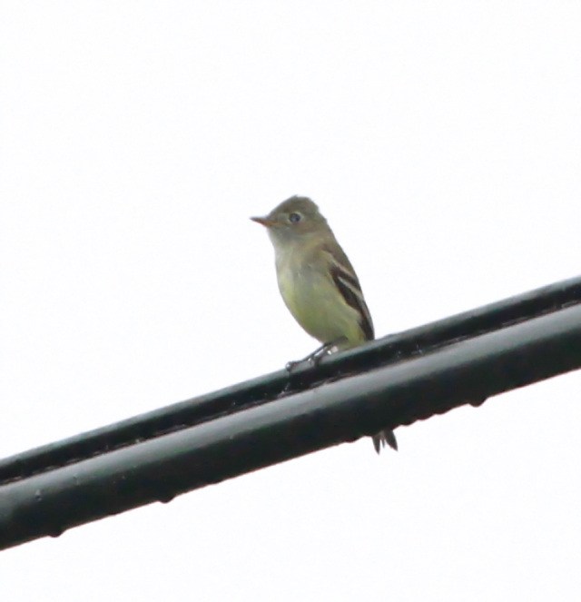 Least Flycatcher on a very wet wire!
