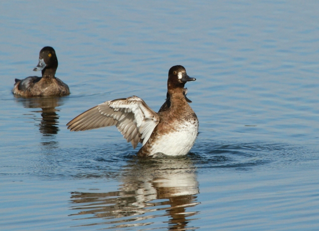 Lesser Scaup ... Vierra Wetlands