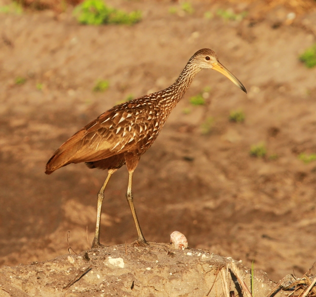 Limpkin ... I liked how the farm field's color helped to camoflaged him.