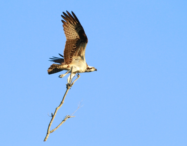 Osprey ... With some real nesting material!