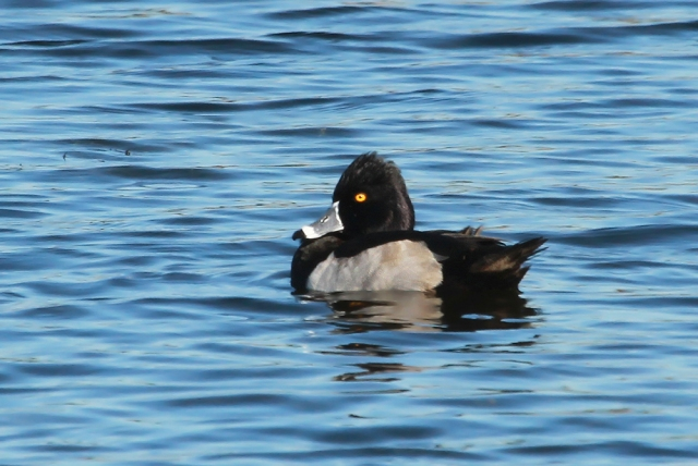 Ring-necked Duck ... Taken near the Turnpike on the 4th.