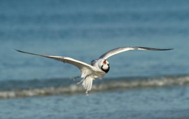 Royal Tern  ... Crazy lucky shot!!