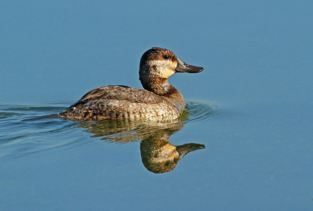 Ruddy Duck ... Today 1/2/13 at Green Cay Wetlands.  It would be wonderful to find EVERY species that is this cooperative!!!