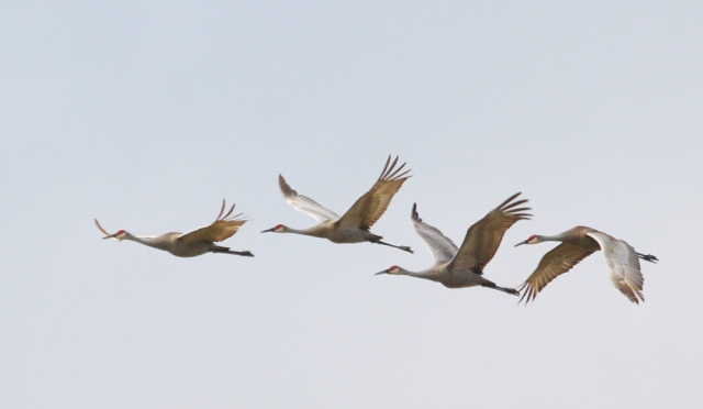 Sandhill Cranes ... A small part of the large group I witnessed today!