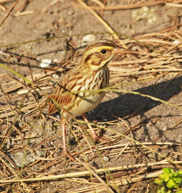 "Savannah Sparrow ... The first new ""list"" bird of the year!"