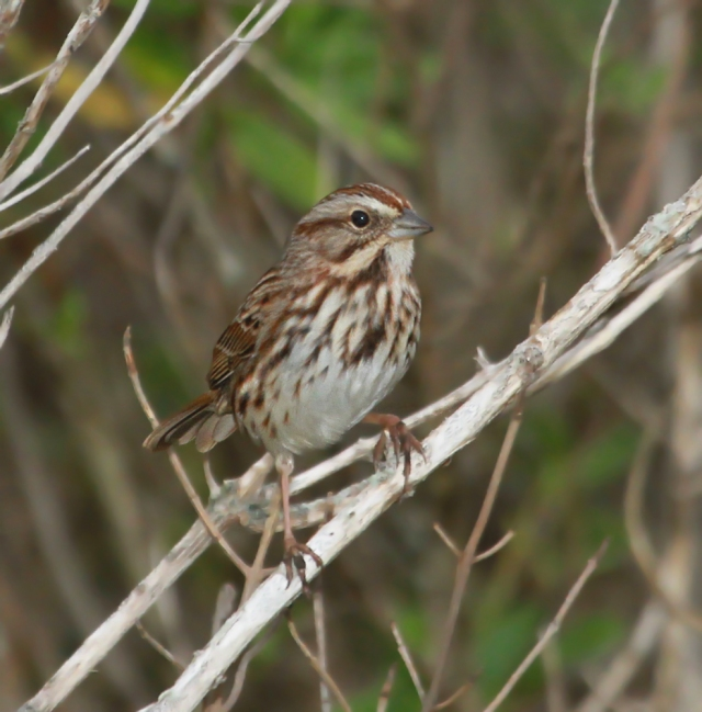 Song Sparrow ... One of the Sparrow species that does not come as far South as Palm Beach County