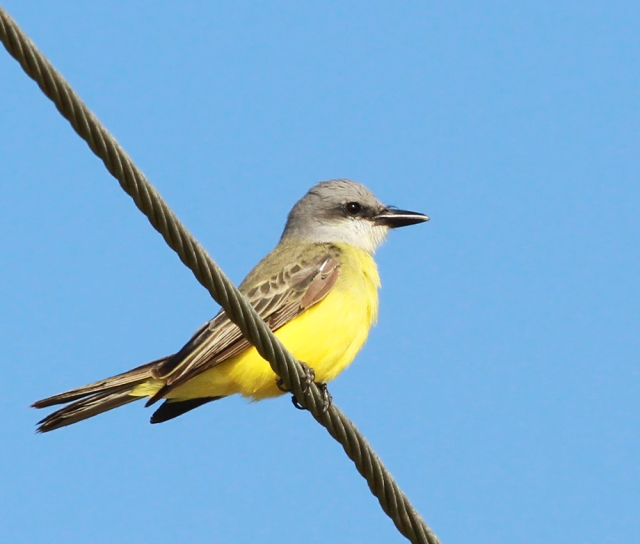 Tropical Kingbird ... A stunning example of this Southwestern US species.