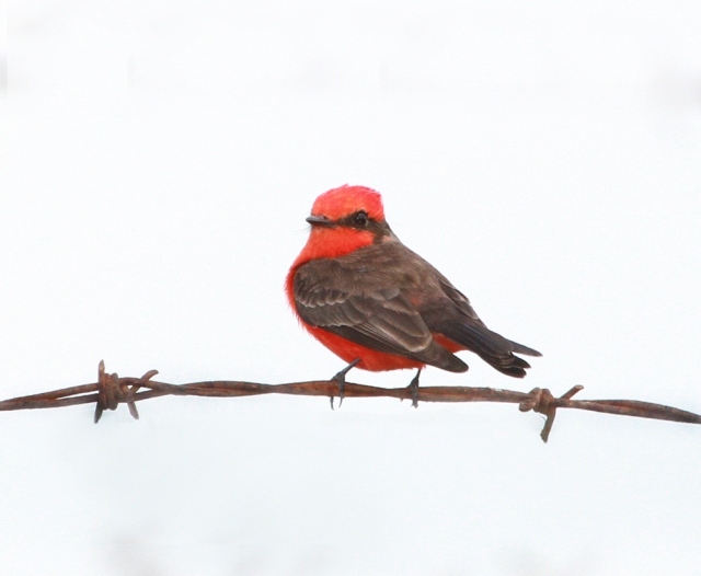 Vermilion Flycatcher ... He wouldn't pose in better light but you can still see the amazing color.