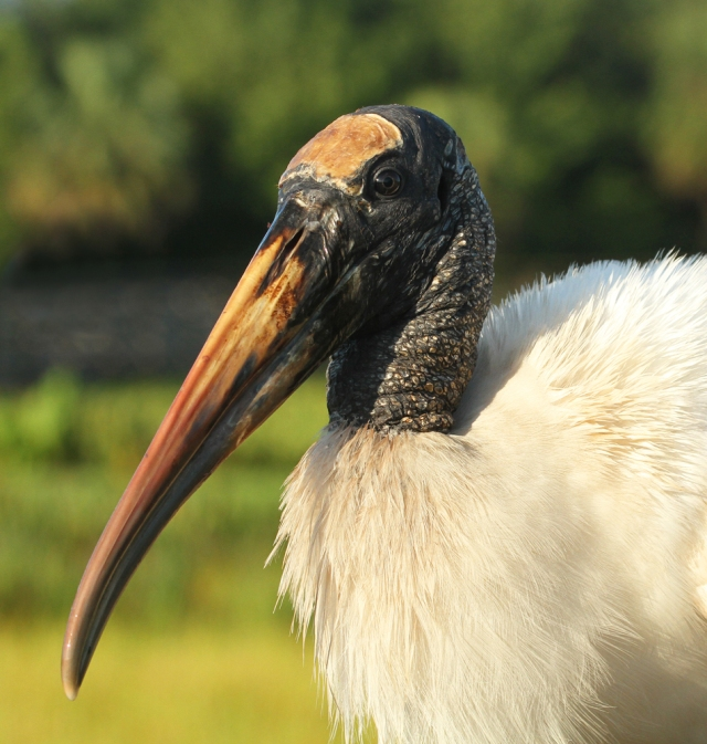 Woodstork ... He was sitting on the railing just begging me to take his portrait!