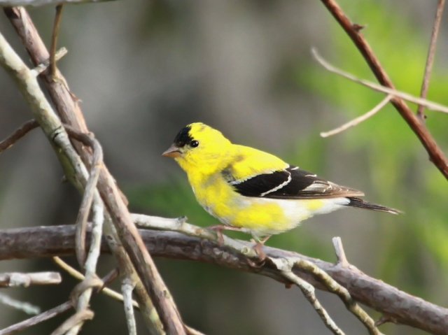American Goldfinch ... He has almost all of his beautiful breeding plumage.