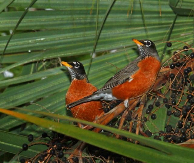 American Robins ... A real treat for South Floridians!