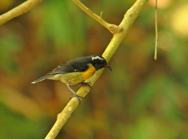 Bananaquit ... I saw one of these in Ft Lauderdale some years ago.  They were all over the Island of St Maarten!