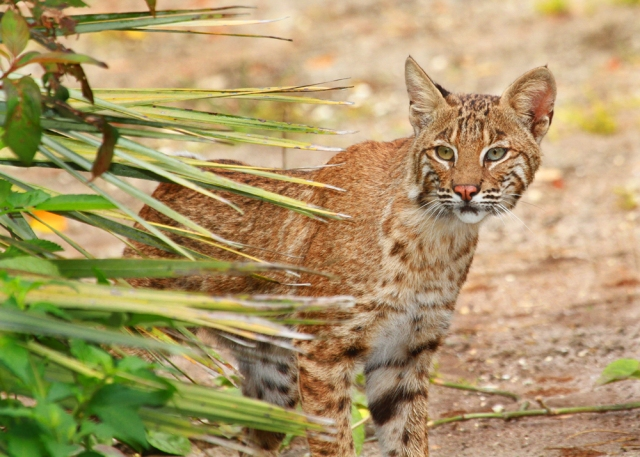 One of our local Bobcats!!