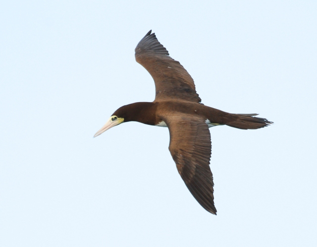 Brown Booby ... This was the most prolific bird on the trip with quite a few sightings!