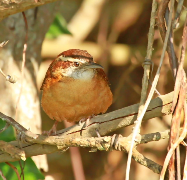 """Carolina Wren ... One of the real """"songsters"""" of the refuge!"""