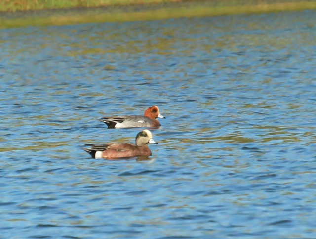 Eurasian Wigeon ... He is the one with the Red head !!