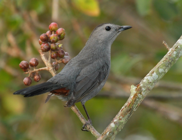 Gray Catbird ... One of the few birds whose call is appropiate for his name!