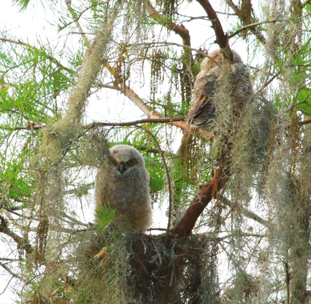 Great Horned Owlets ... They are a little bit to far back for my lens but are fantastic looking through a scope!
