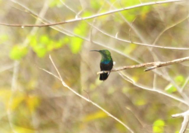 Green-throated Carribean Hummingbird