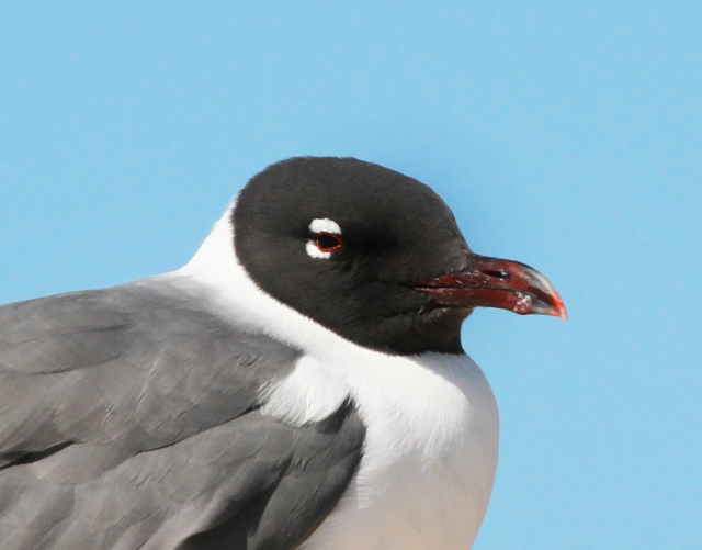 Laughing Gull ... What a crisp look this guy was displaying.