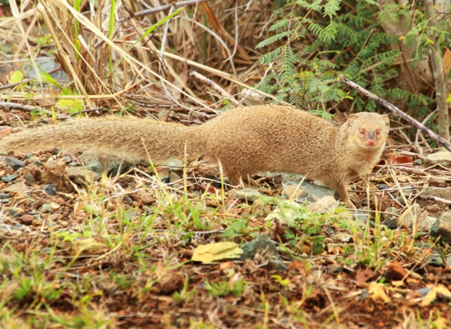Mongoose ... A lifer mammal for me!