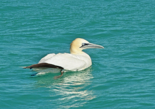 Northern Gannet ... This guy even decide to rest awhile!